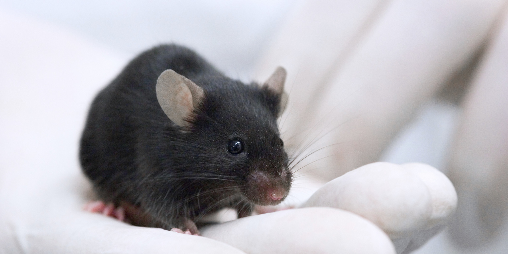 Misleading Mouse Research Blamed In Failures Of