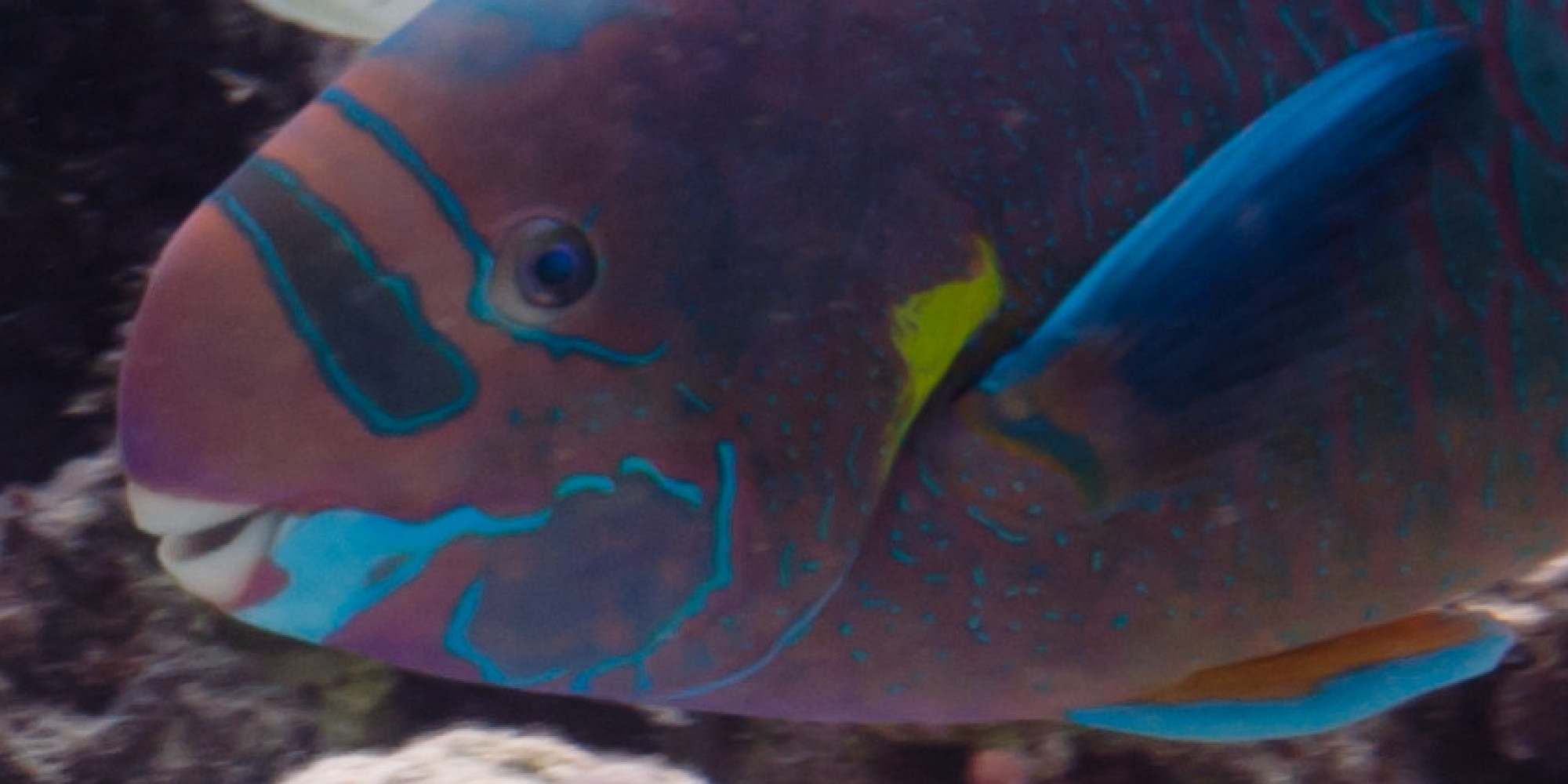 Hawaii 39 s white sand beaches are made from parrotfish poop for Secret fish in tap tap fish