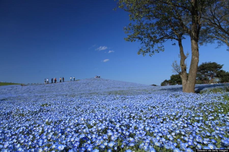 hitachi seaside park spring photos