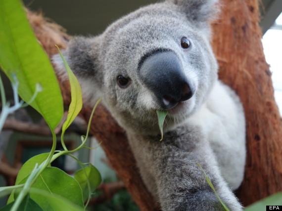 koala selfie