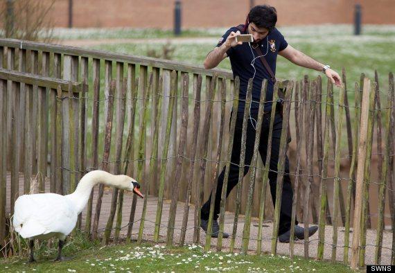 racist swan