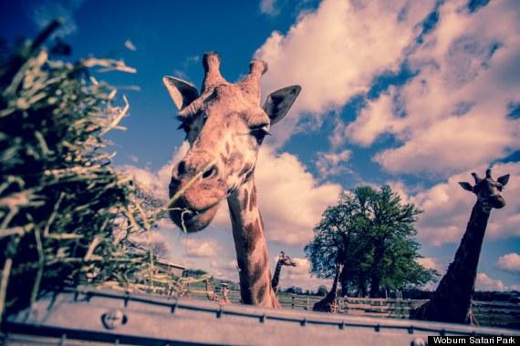 rothschilds giraffe enjoying the easter sunshin
