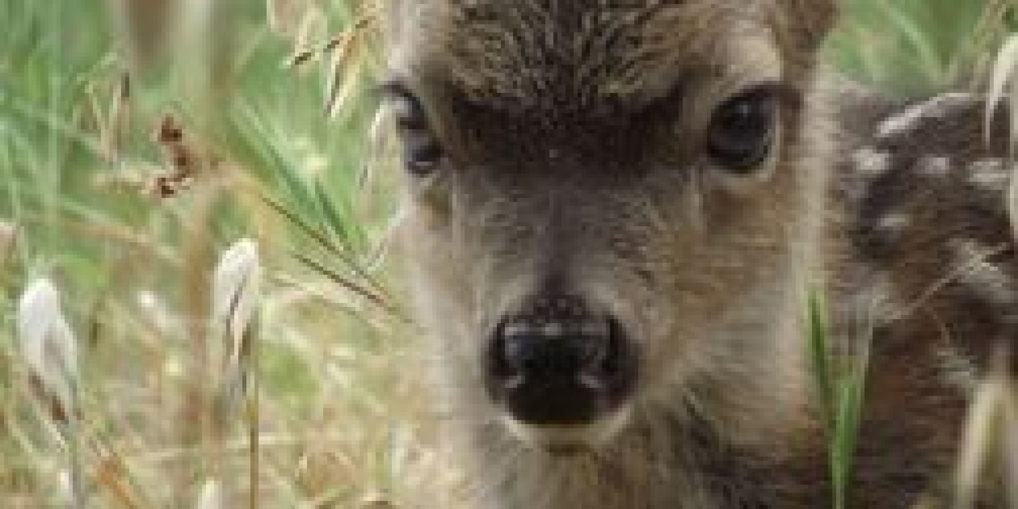 was this black tailed deer fawn kidnapped huffpost