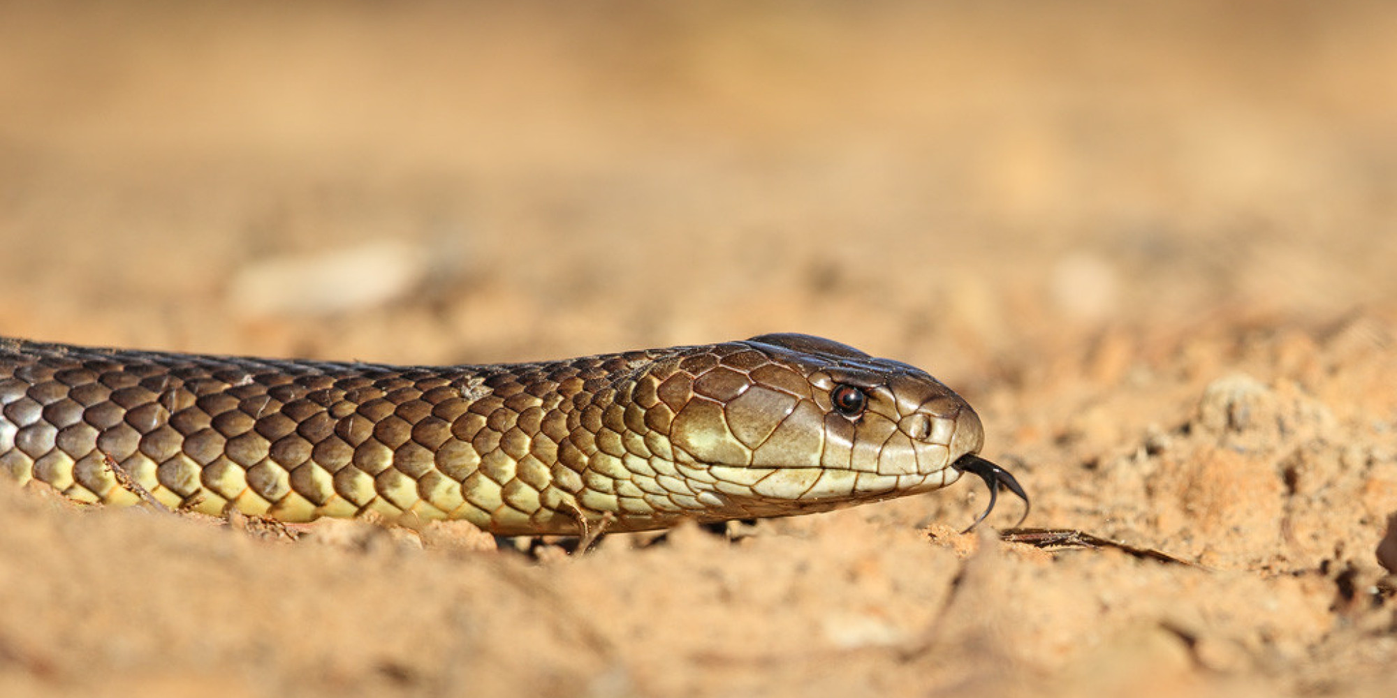Mulga Snakes Show Unusual Tendency To Bite People Who Are