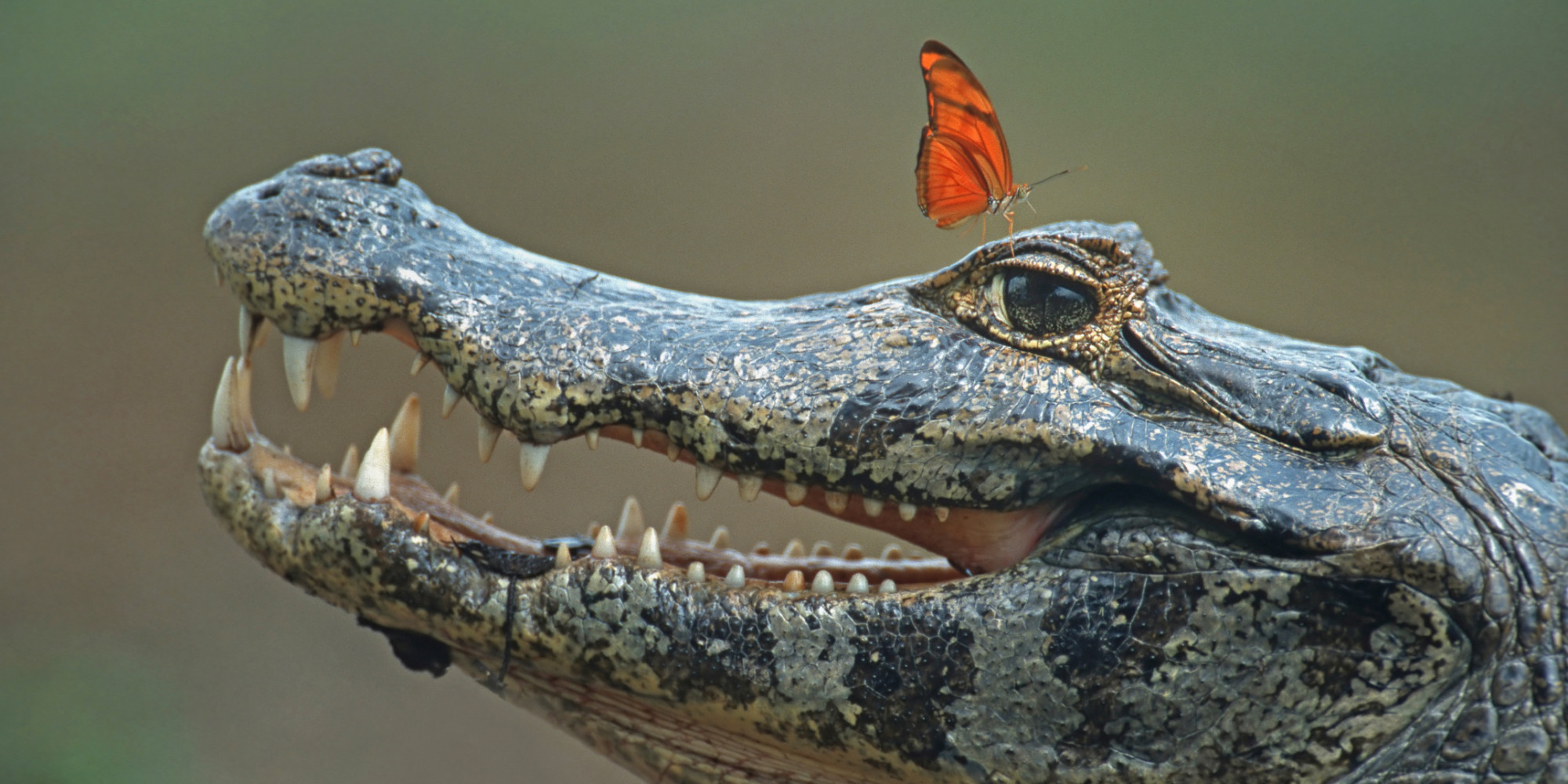 Butterflies Have Good Reason To Sip Crocodile Tears ca2e56f573865