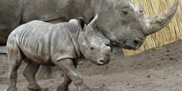 Baby rhinoceros Makena walks past her mother Uzuri on April 30, 2013 at the Serengeti Park in Hodenhagen, western Germany. Makena was born on March 7, 2013 at the wildlife park. Her name comes from the Kikuyu language and means 'happy'.      AFP PHOTO / HOLGER HOLLEMANN / GERMANY OUT        (Photo credit should read HOLGER HOLLEMANN/AFP/Getty Images)