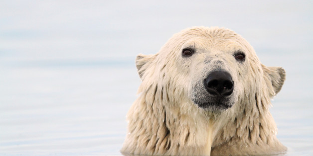 This Is How Polar Bears Can Eat So Much Fat Without Having Heart Attacks