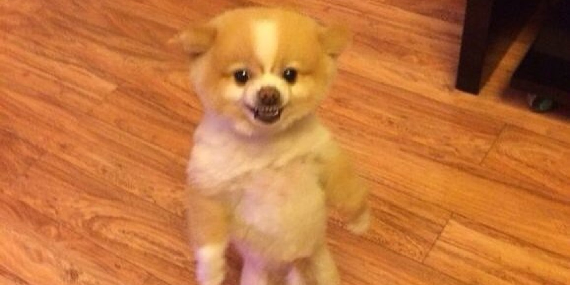 Pomeranian Pooch Protests Haircut By Standing On Hind Legs Looking