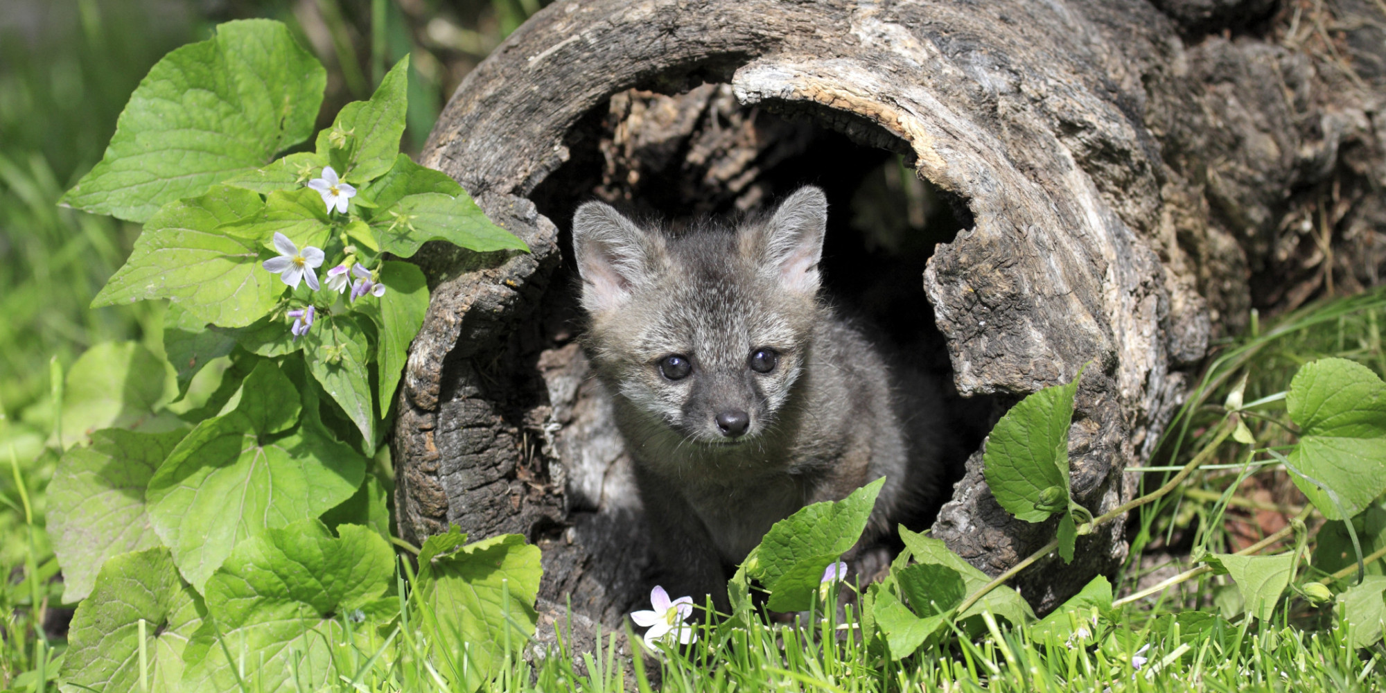 Baby Gray Foxes Nearly Orphaned By Quot Humane Quot Trap Huffpost