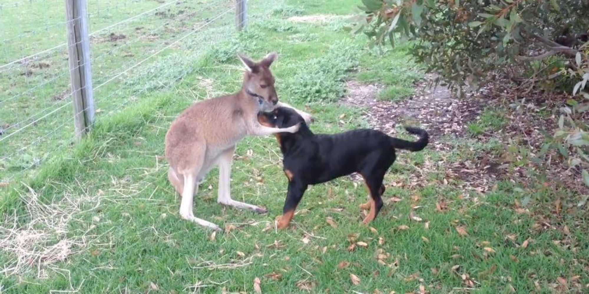 rottweiler and kangaroo play together prove everything u0027s a little