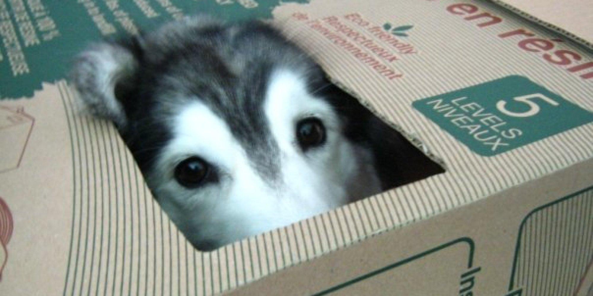 gray female cat