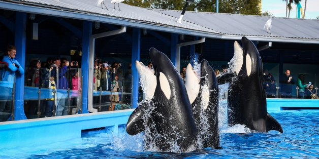 Orcas during a show at the Shamu Up Close attraction at Sea World in Orlando, Fla., Jan. 7, 2014. (Joshua C. Cruey/Orlando Sentinel/MCT via Getty Images)
