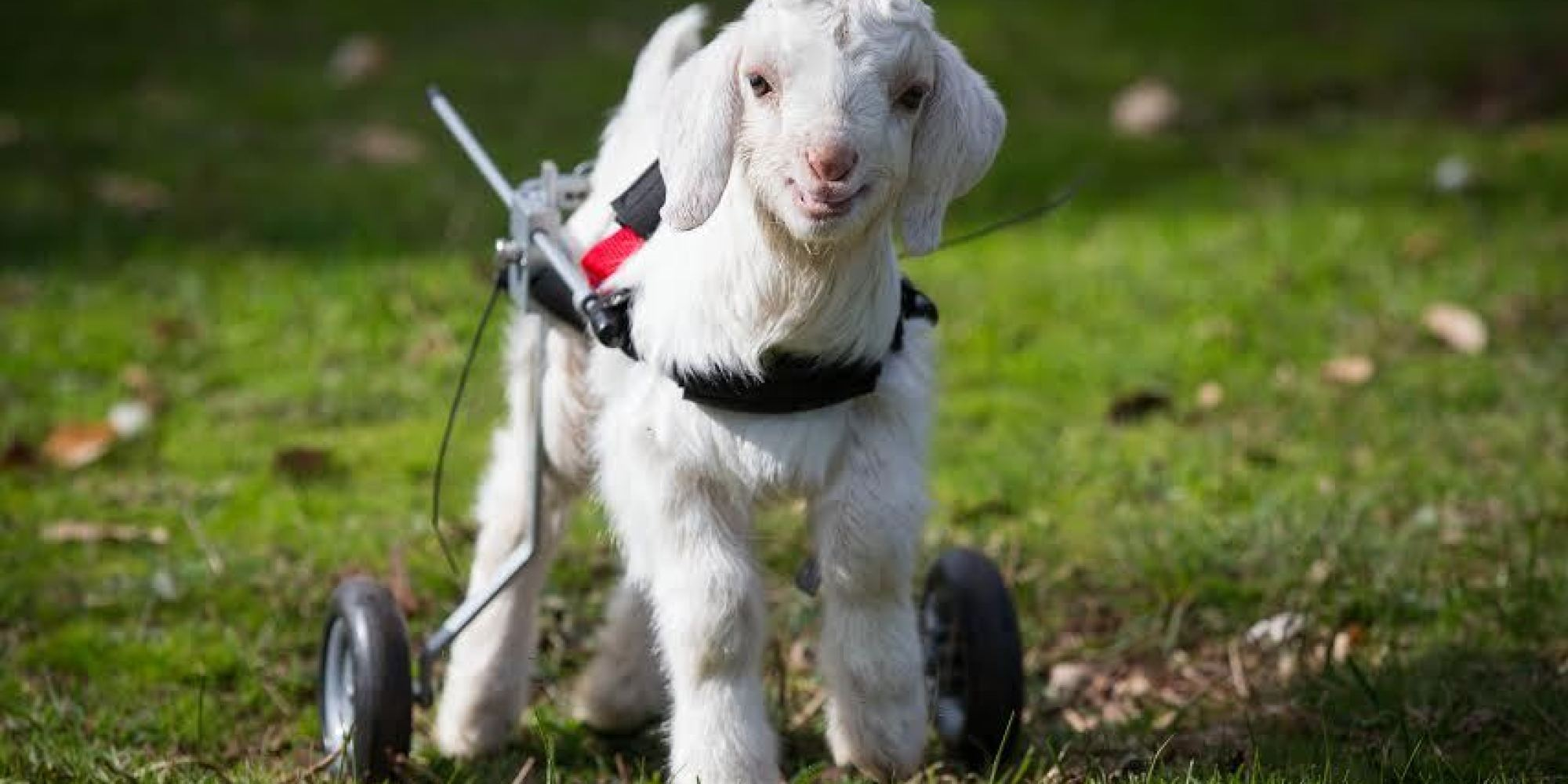 This Baby Goat Is So Happy With His New Wheelchair, And We Just ... for Happy Baby Lamb  150ifm