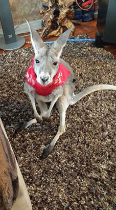 kangourou mirka