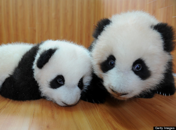 giant panda protection and research centre cubs