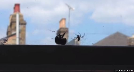 bourdon araignée