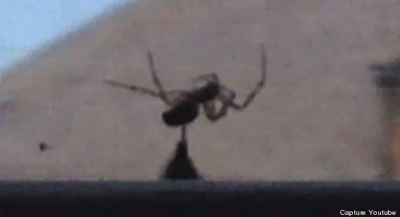 dard bourdon araignée