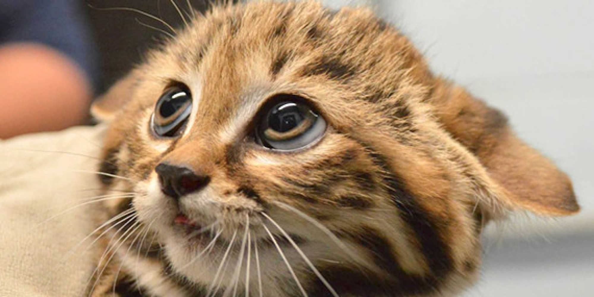 Philadelphia Zoo Wel es Black Footed Cat Kittens And We Are