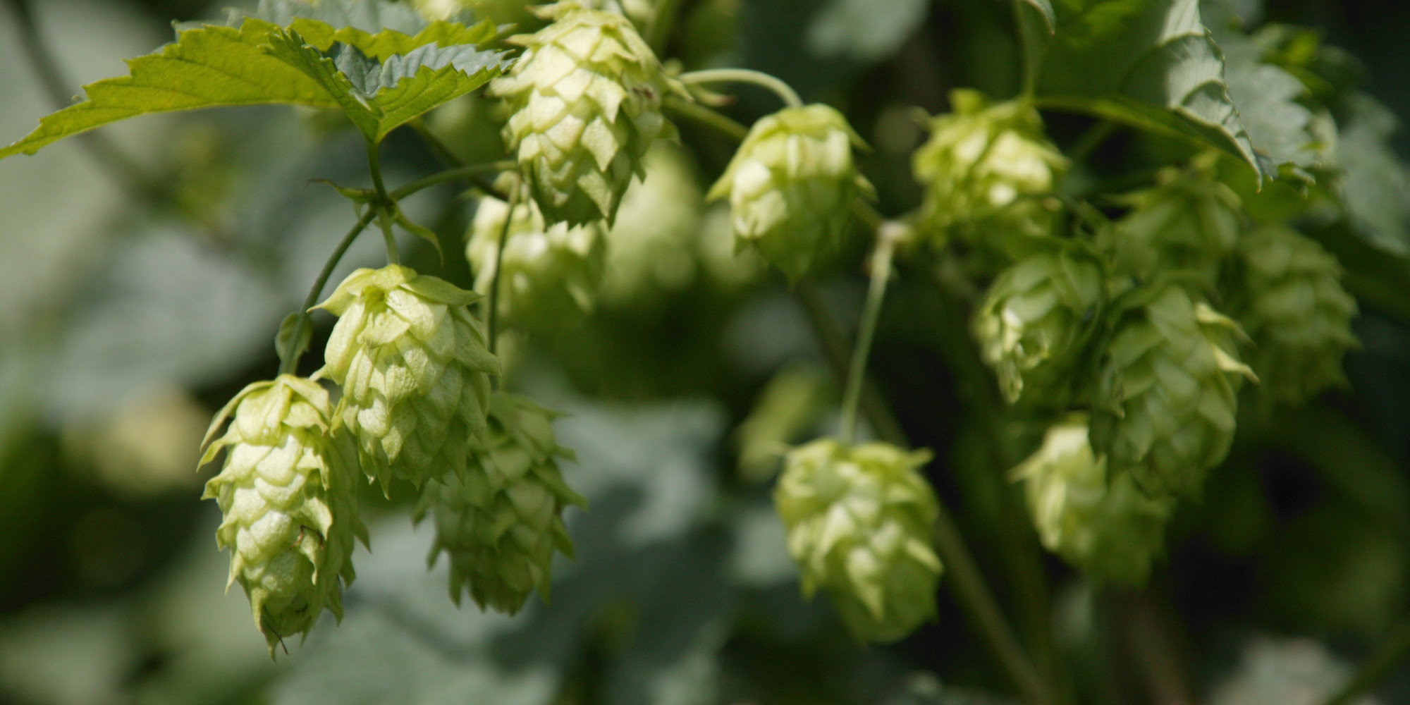 what the hell are hops  anyway