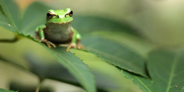 The Amazing Science Of Frogs' Sticky Tongues