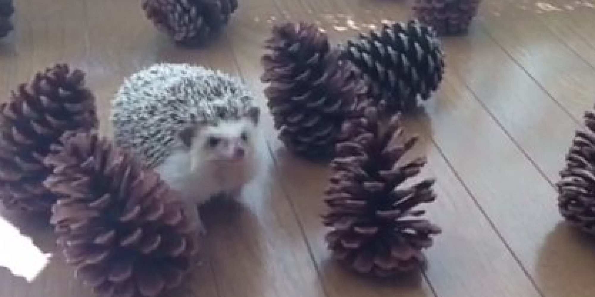 Image result for hedgehog with pinecone