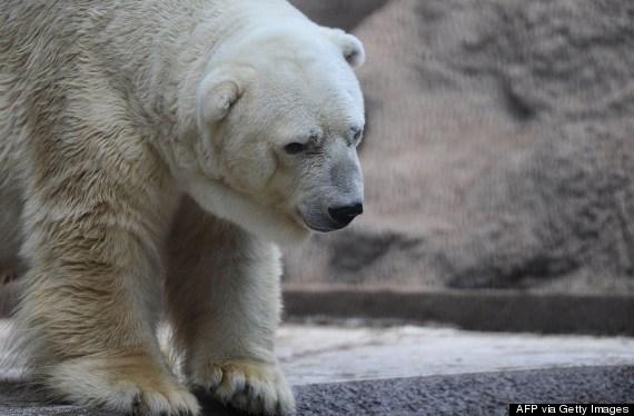 polar bear buenos aires