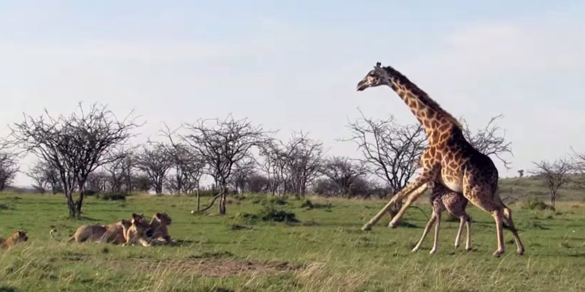 giraffe takes on lions proves nothing u0027s more fierce than a mother