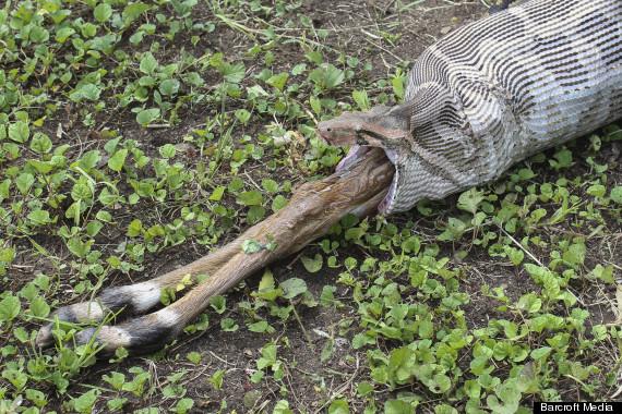 python swallows antelope