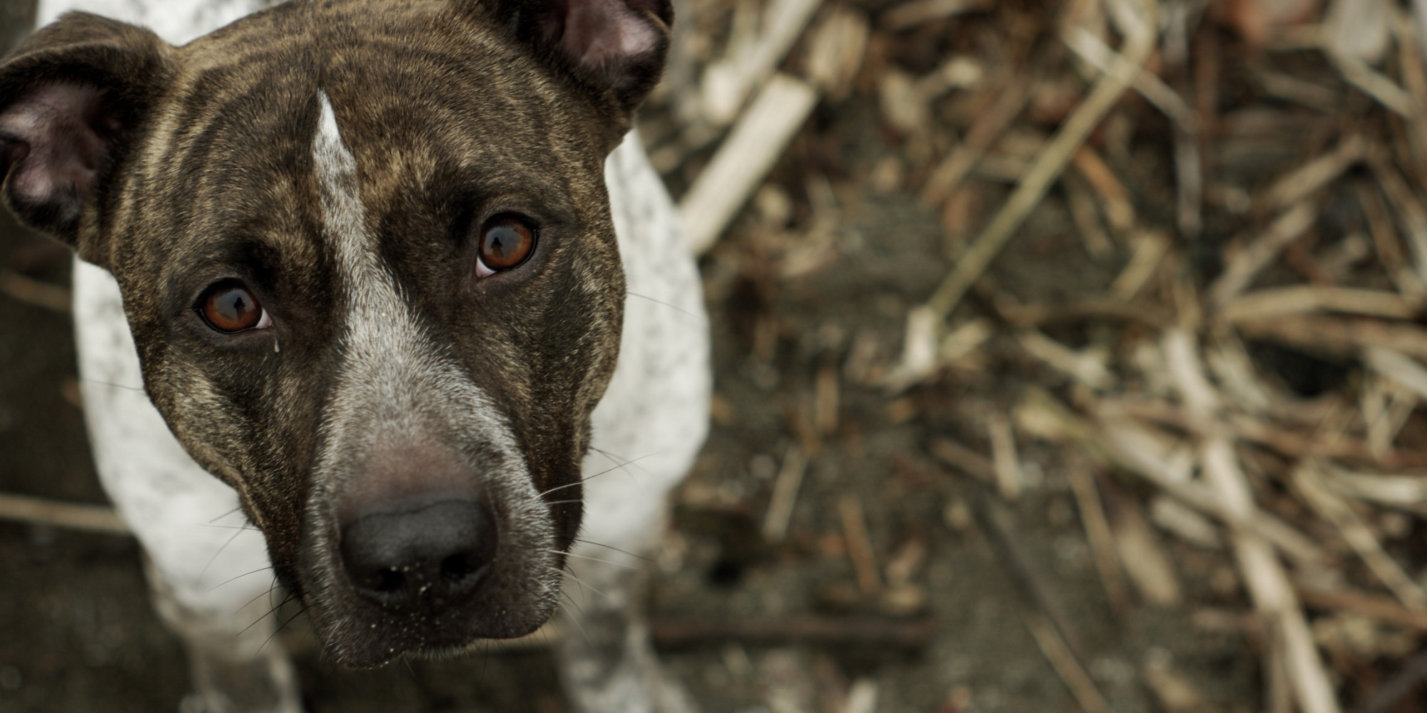 So you think you know what a pit bull is think again huffpost nvjuhfo Choice Image