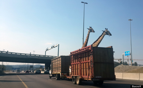 giraffe hits head on bridge