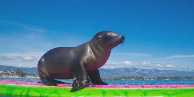 This Adorable Baby Sea Lion Needed Help, So It Hopped On A Surf Board