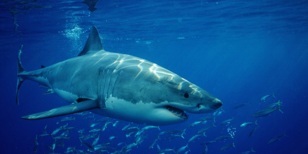 In the new york seascape and elsewhere shark week turns our reinhard dirscherl via getty images publicscrutiny Gallery