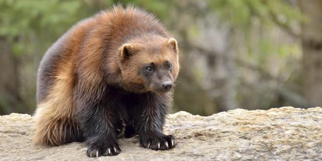 U.S. Denies Endangered Species Protection For Wolverines, Despite Declining Populations