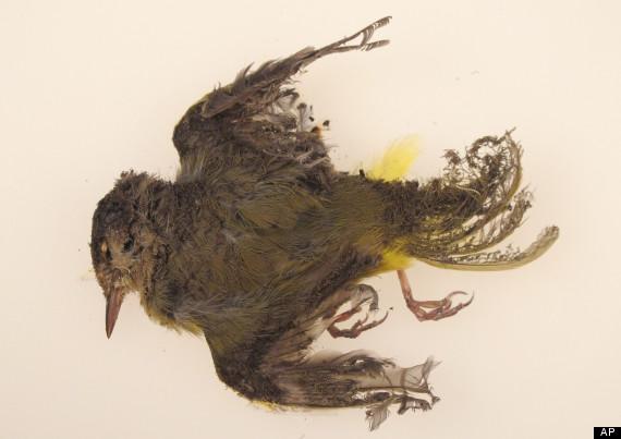 ivanpah birds