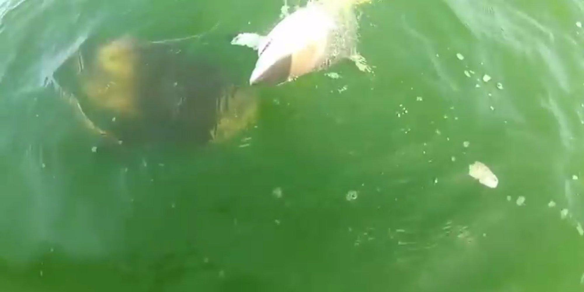 Massive fish devours 4 foot shark in one terrifying bite for Goliath grouper fish