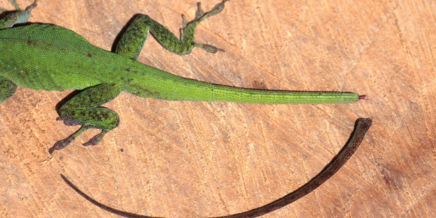 Scientists Have Figured Out How Lizards Regrow Their Tails, And That's Good News For Humans