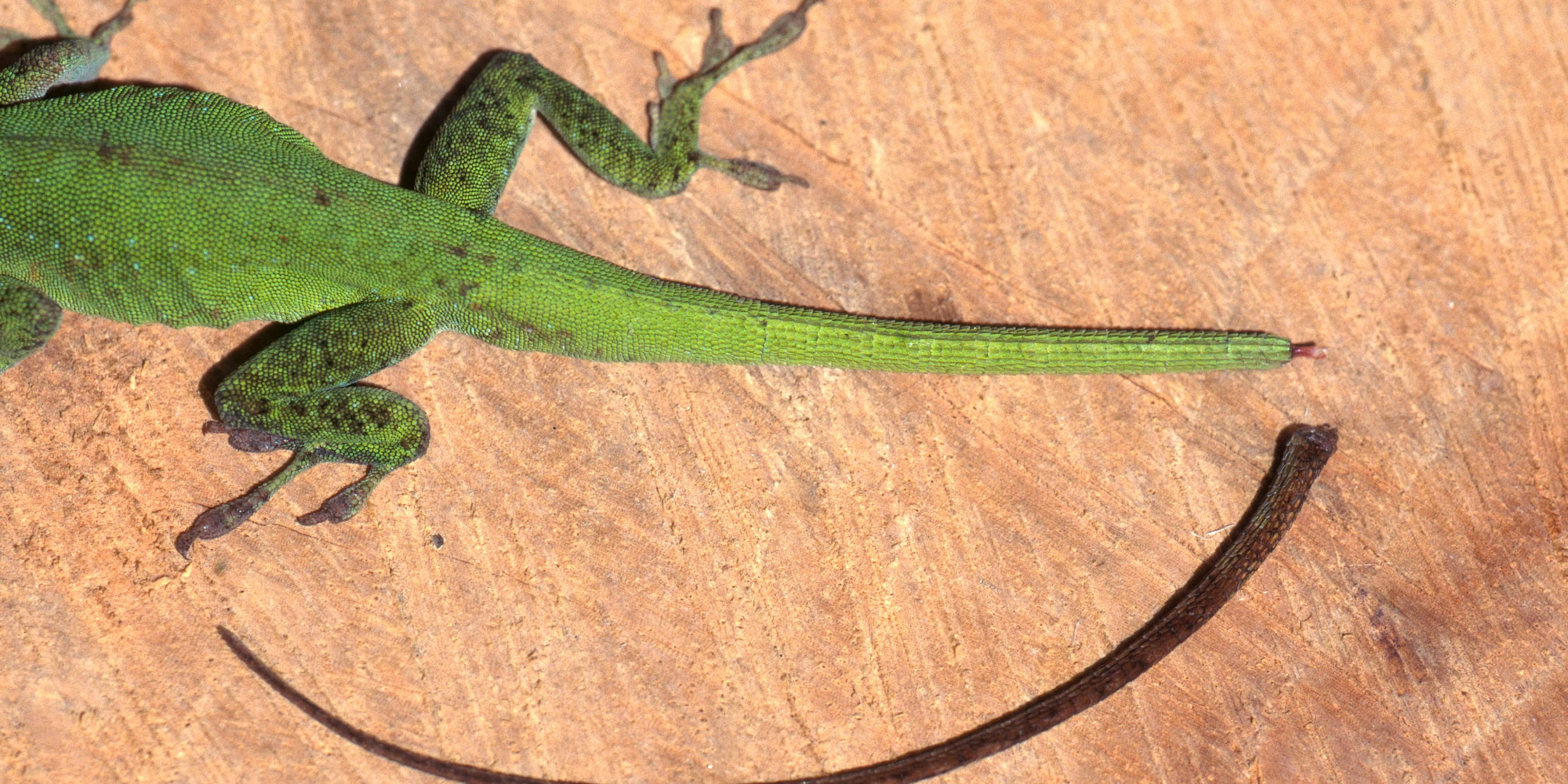 scientists have figured out how lizards regrow their tails and