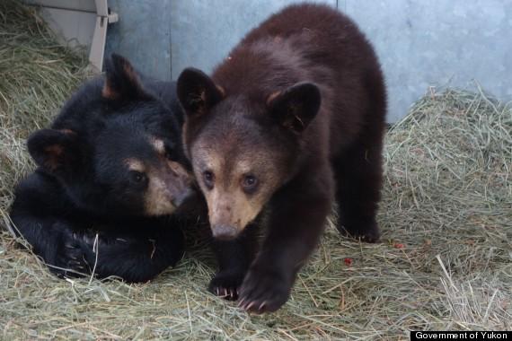 yukon bear cubs