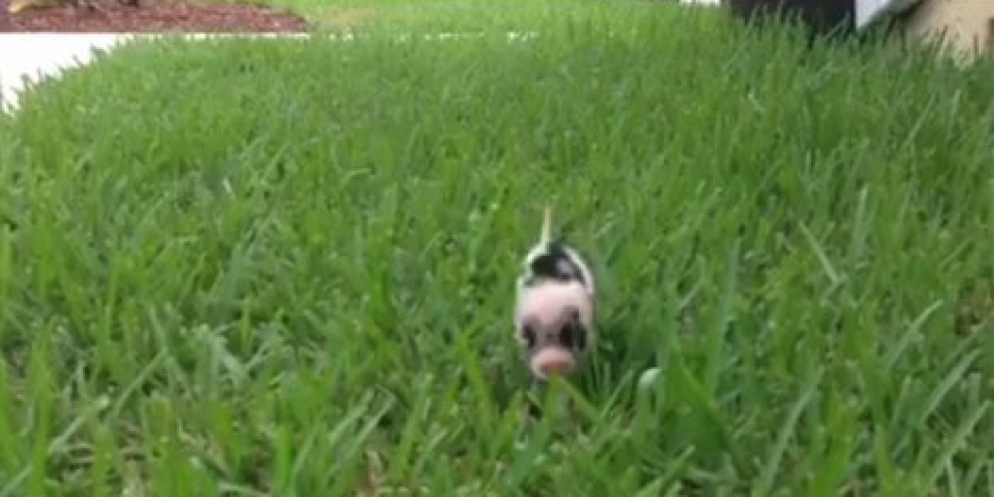 This Vine Of A Tiny Piglet Prancing Through Grass Will Be The Best 6 Seconds Your Day