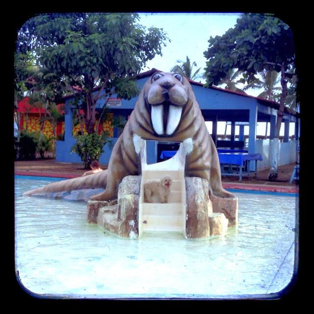 cerbero walrus