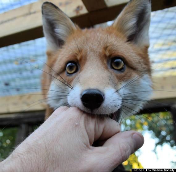 pudding the fox