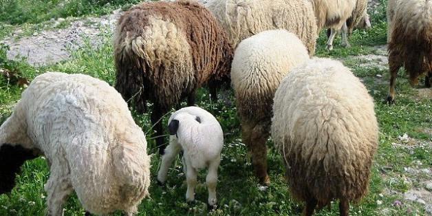 Tunisie: Pourquoi les moutons seront encore plus chers cet Aïd