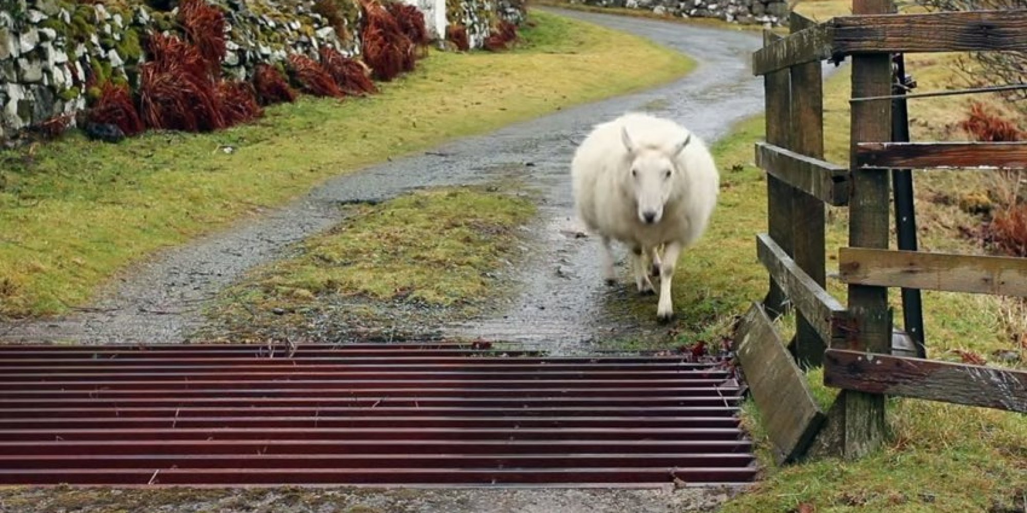 Revealed How A Sheep Crosses A Cattle Grid Huffpost Uk