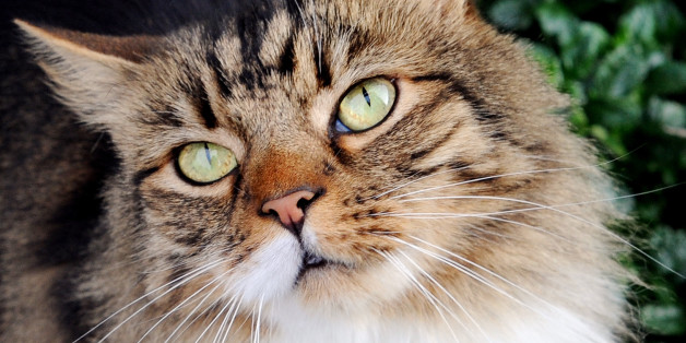 Stock photo of a domestic cat.