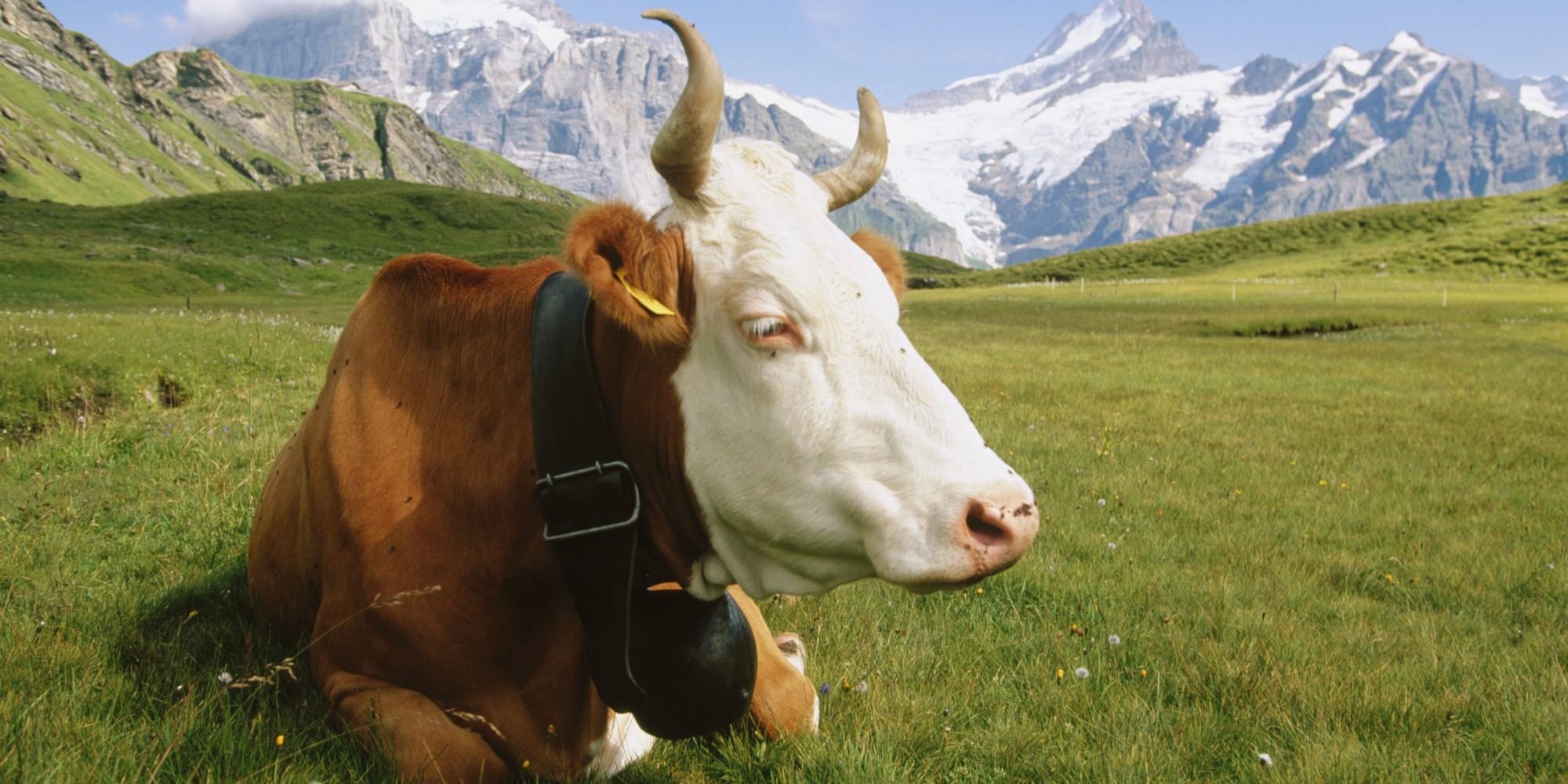 Cow Bell Dog Collar