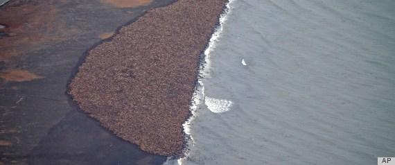 alaska 35000 walrus