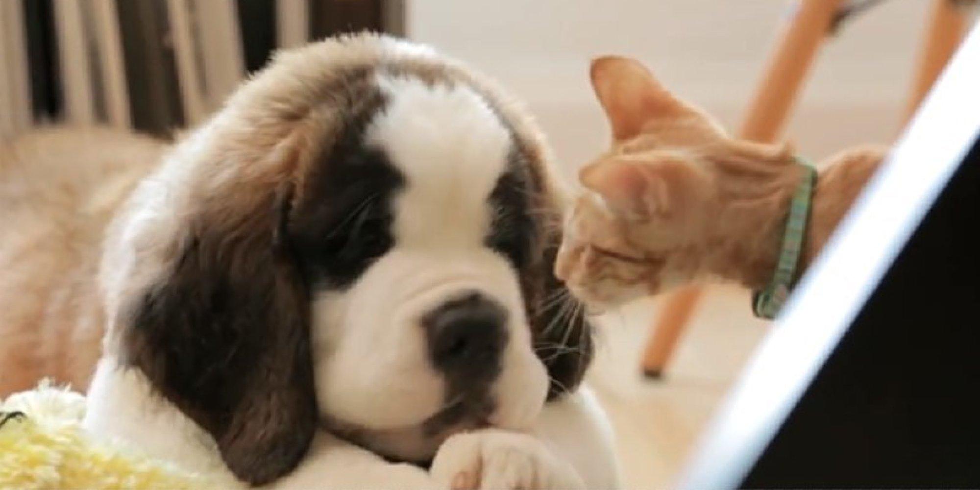 Older Cat Helps Tentative Kitten Make Sense Strange Beast Known
