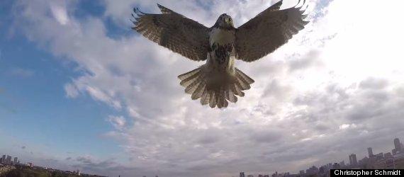 hawk vs drone