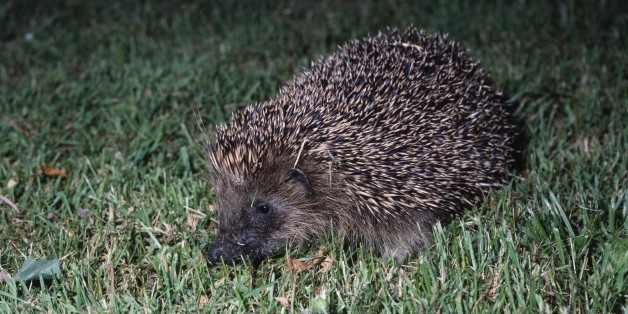 UNSPECIFIED - FEBRUARY 17: European hedgehog (Erinaceus europeus), Erinaceidae. (Photo by DeAgostini/Getty Images)