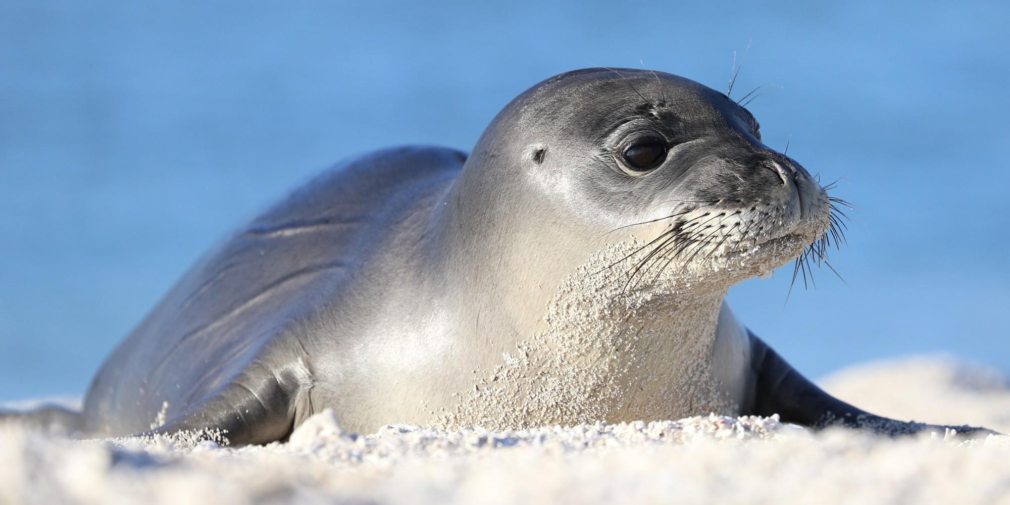Endangered Hawaiian Monk Seals Making Very Cute Comeback